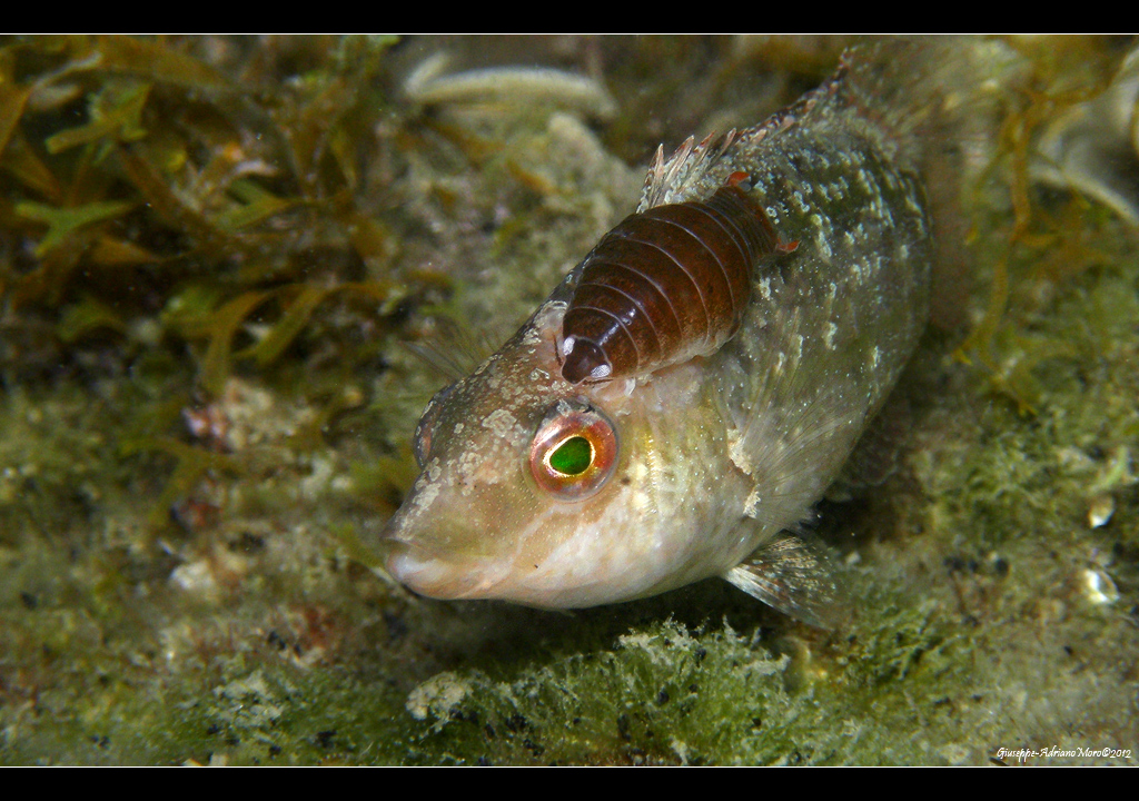 Parasitism An Isopod Crustacea Isopoda Probably Of