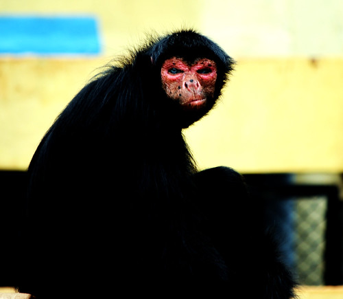 Red Faced Spider Monkey The Red Faced Spider Monkey