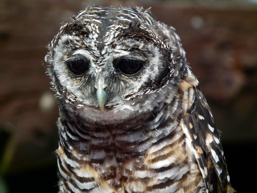 bokuto horned owl and akaashi rufous