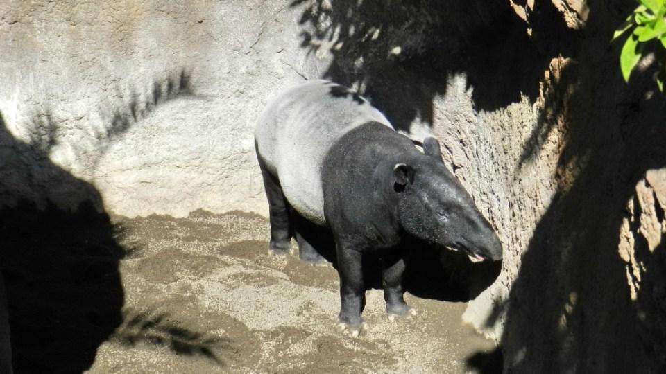 tapir malayo Zoo Bioparc Fuengirola Malaga 02