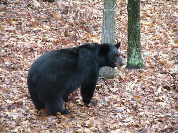 Photo of black bear in Western Maryland