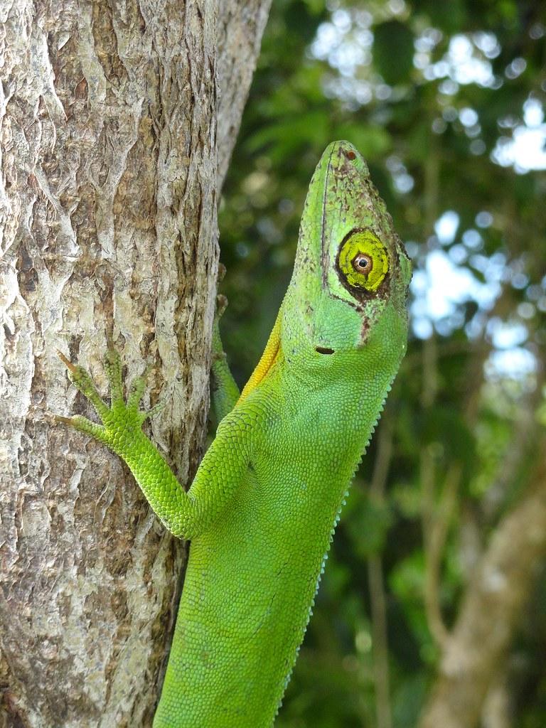 Anolis cuvieri  Endemic to Puerto Rico Male specimen Puer  Flickr