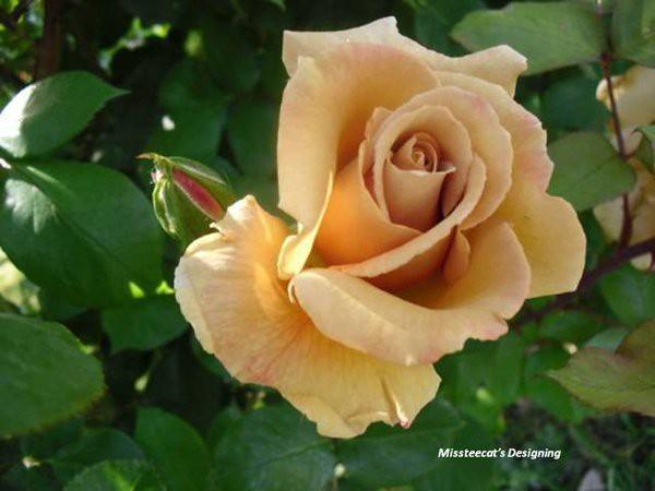 Rare Tan Rose By Missteecats Designing  Cathryn  Flickr