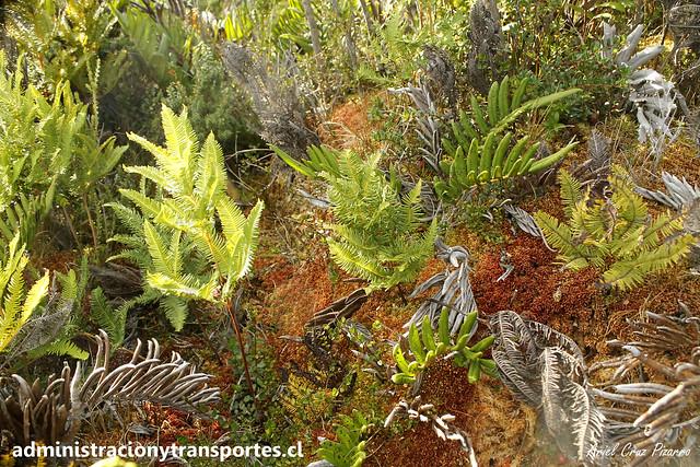 Parque Nacional Chiloé | Turberas - Musgo Pompón