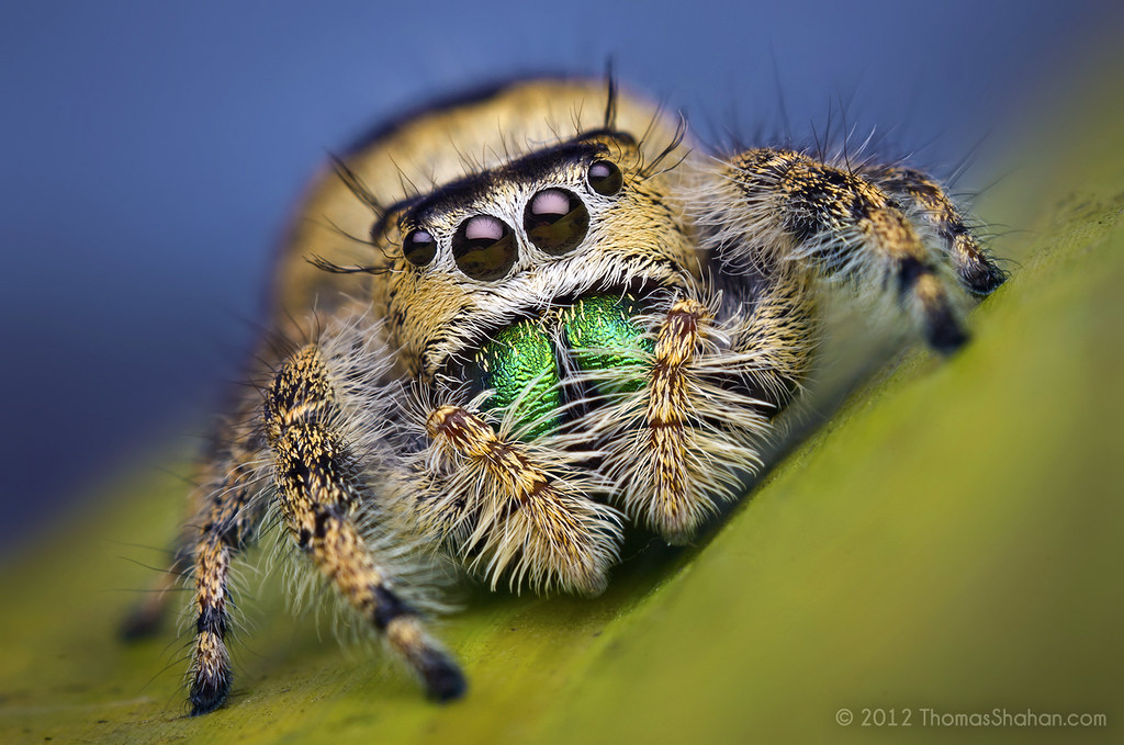 Female Jumping Spider  Phidippus workmani  Florida  Bug  Flickr
