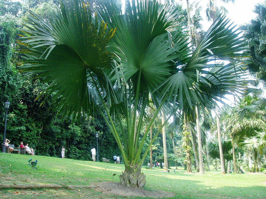 10 Corypha umbraculifera 貝葉棕(行李椰子) | Corypha umbraculifera L… | Flickr
