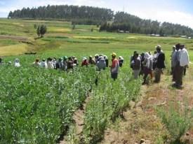 Introduced Dosha Faba bean during field day at Basona (photo credit: ILRI/Z.Lema)