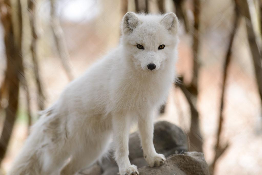 Cute Chibi Fox Wallpaper Arctic Fox Posed Eric Kilby Flickr