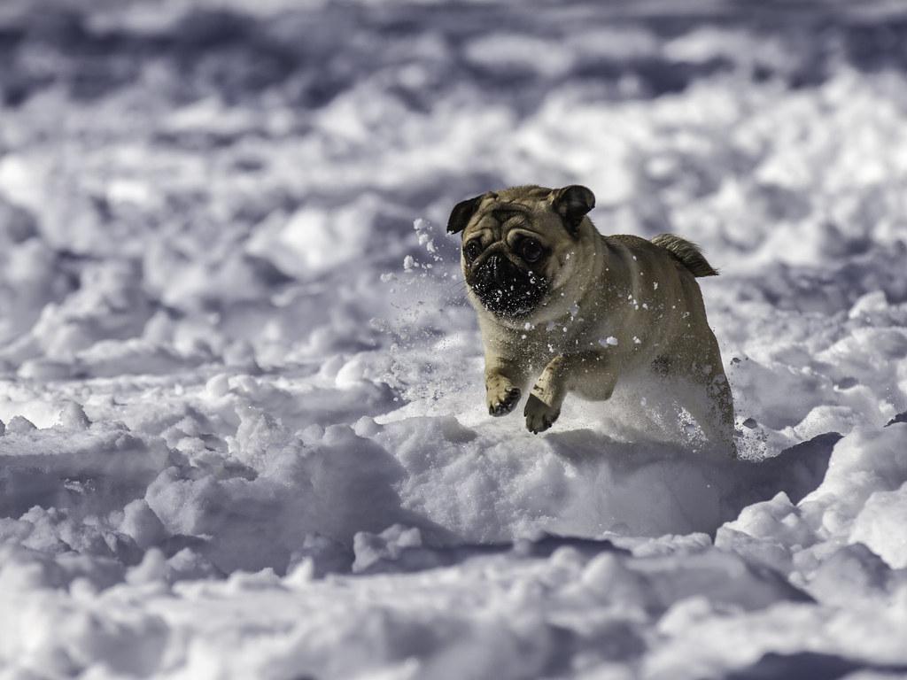 Cute Pug Wallpaper For Desktop Snow Fun Pug Quot Charlie Quot Enjoying The White Stuff In