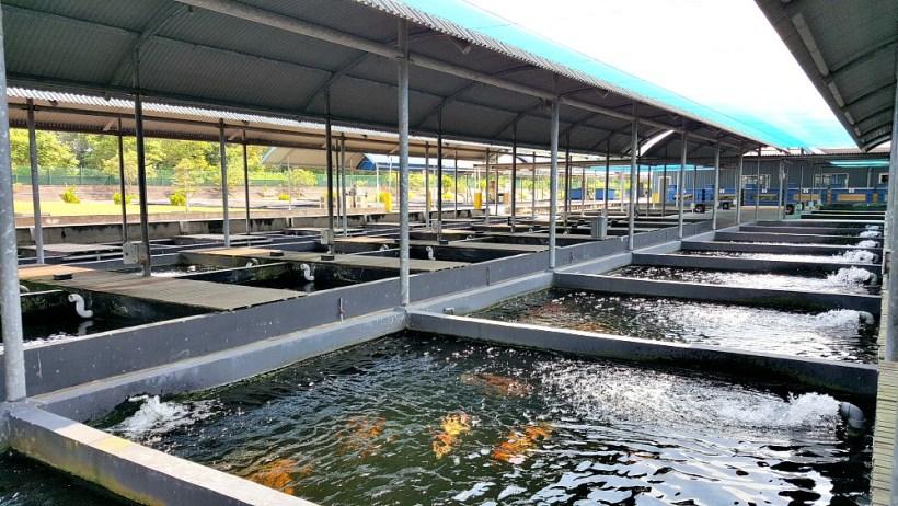 Koi Fish Farm 2