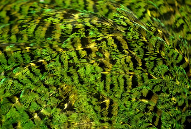 Close up of kakapo feathers  Photo Sam OLeary DOC use