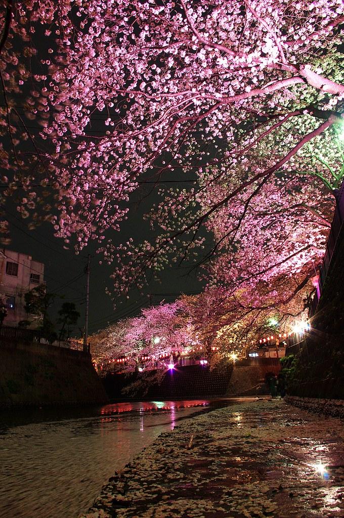 Free Fall Bc Nature Wallpaper Gumyoji Night Sakura Kaz Empson Flickr