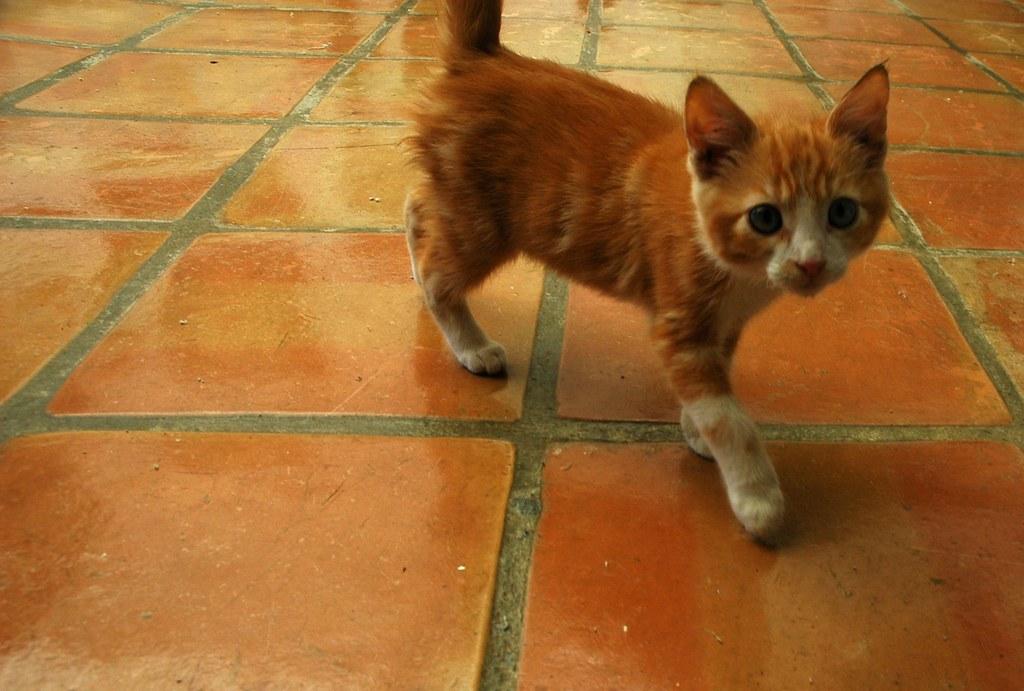 Orange tabby kitten Mexican tile Bajas Best El Rosario