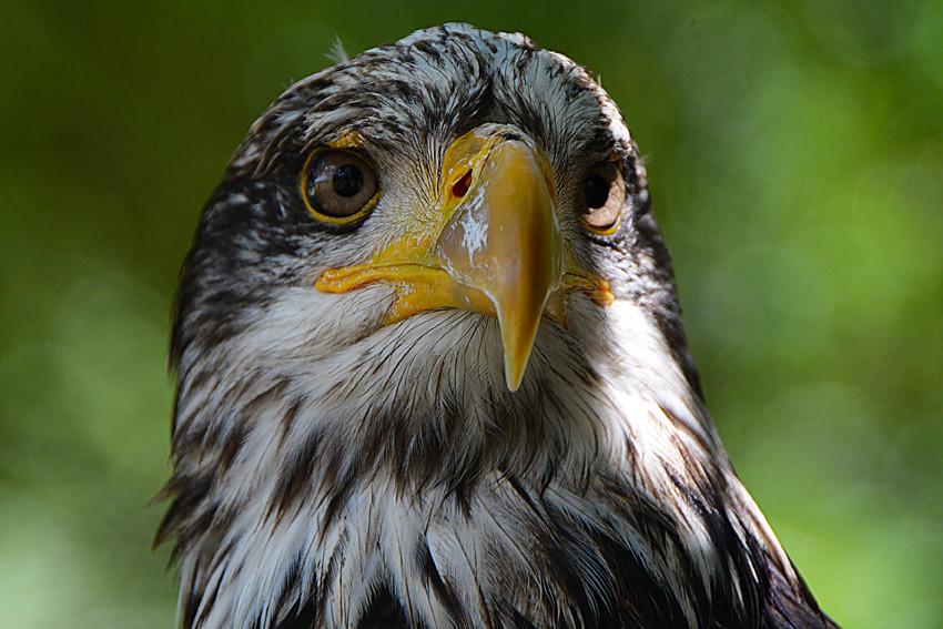 Pygargue  tte blanche  eagle France_4141  wwwgettyimage  Flickr