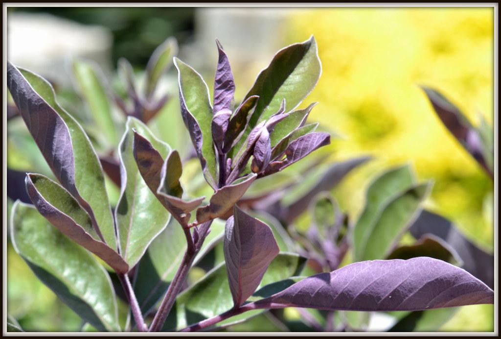 DSC_0058  Arabian lilac at Rogers Gardens Vitex