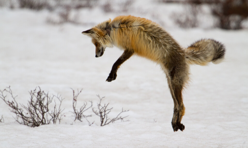 Red Fox Pouncing  Melissa Dowland  Flickr
