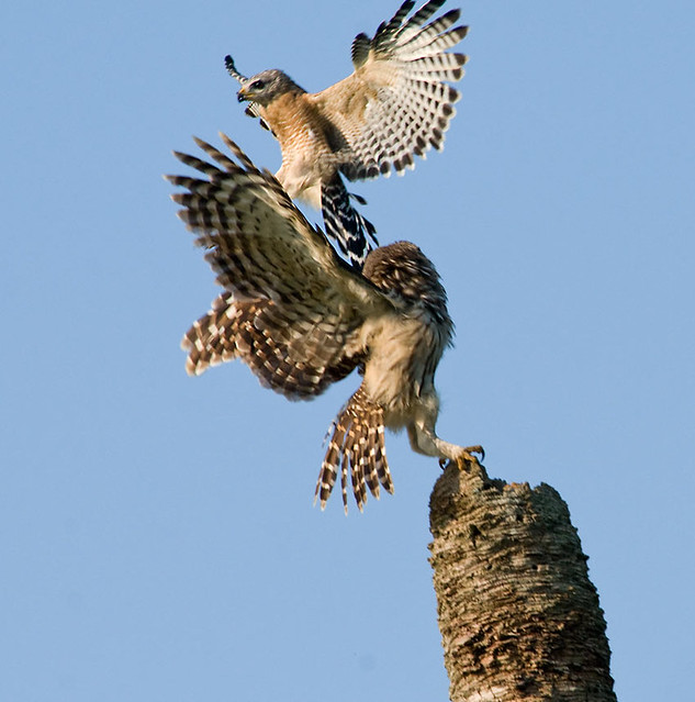 Musuh Alami Burung Hantu Telinga Pendek