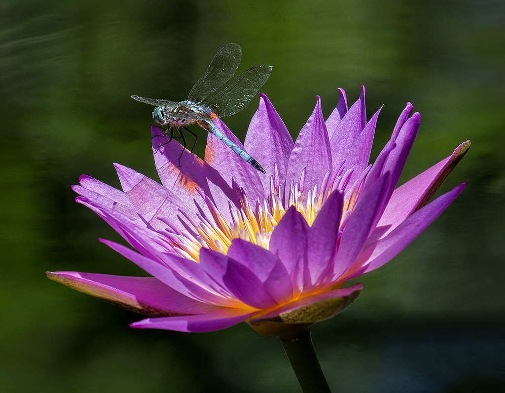 Blue Dasher Dragonfly on Water Lily Fairchild Tropical Bo