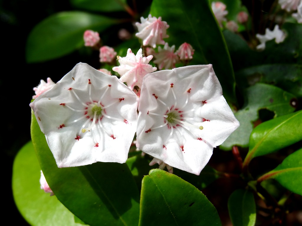 Mountain Laurel flowers  Yes these are mountain laurel