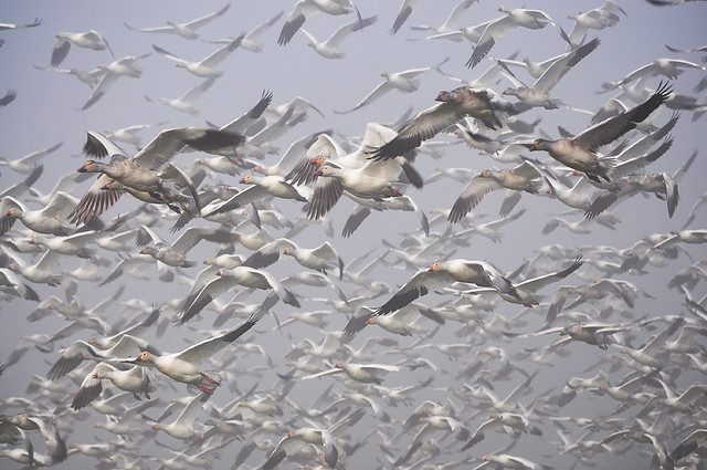 2013-01-20 Snow Geese (02) (1024x680)