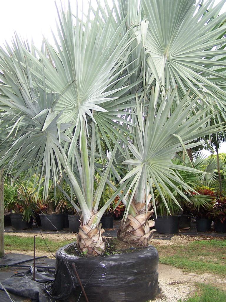 Bismarckia Nobilis Silver Bismarck Palm  Bismarckia Nob  Flickr