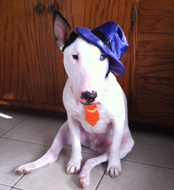 bull terrier halloween costume Terms of Use Please