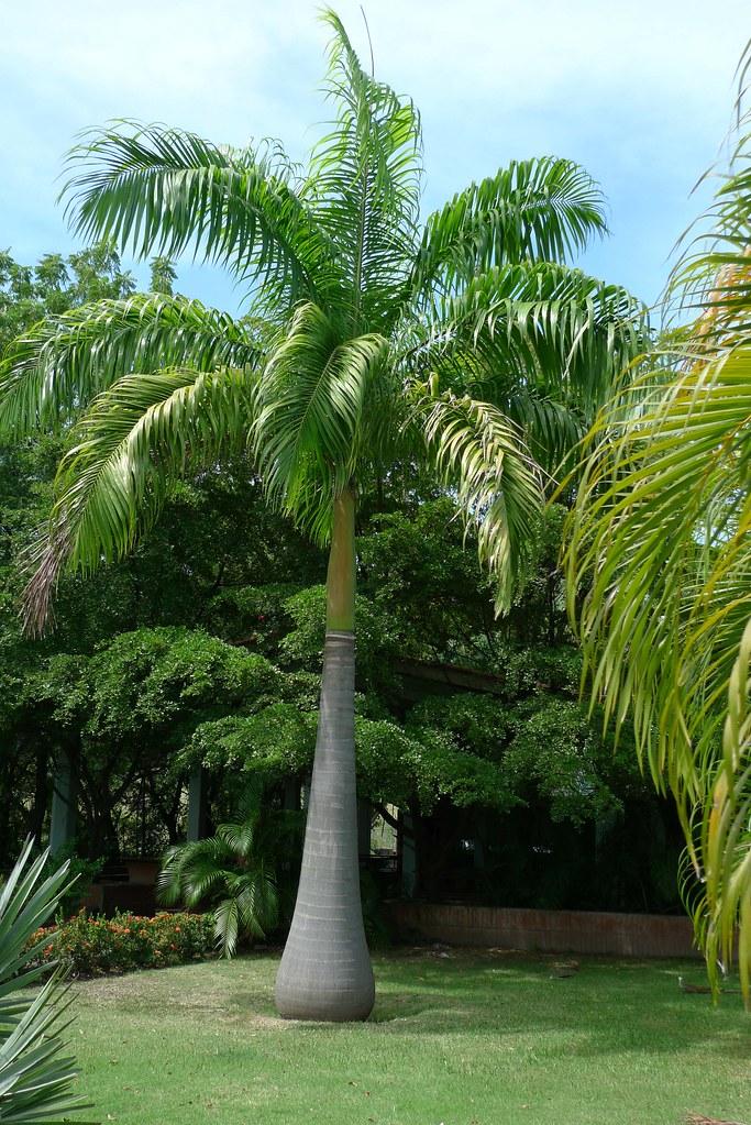 Plantas de Venezuela Chaguaramo venezolano  Raystanea