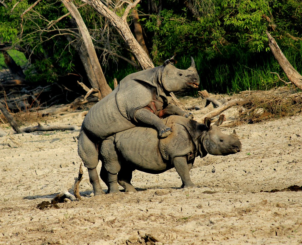 rhino mating  a very rare site of rhinos mating in the