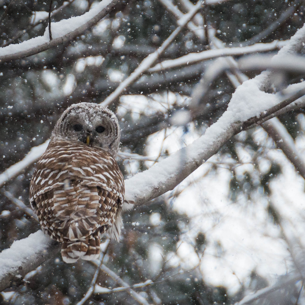 Barred Owl in the snow  Quite a distance from me so I