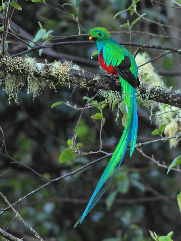 Quetzal Resplendissant Resplendent Quetzal Male Flickr