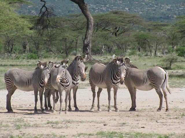 Inticately Striped Grevy Zebras