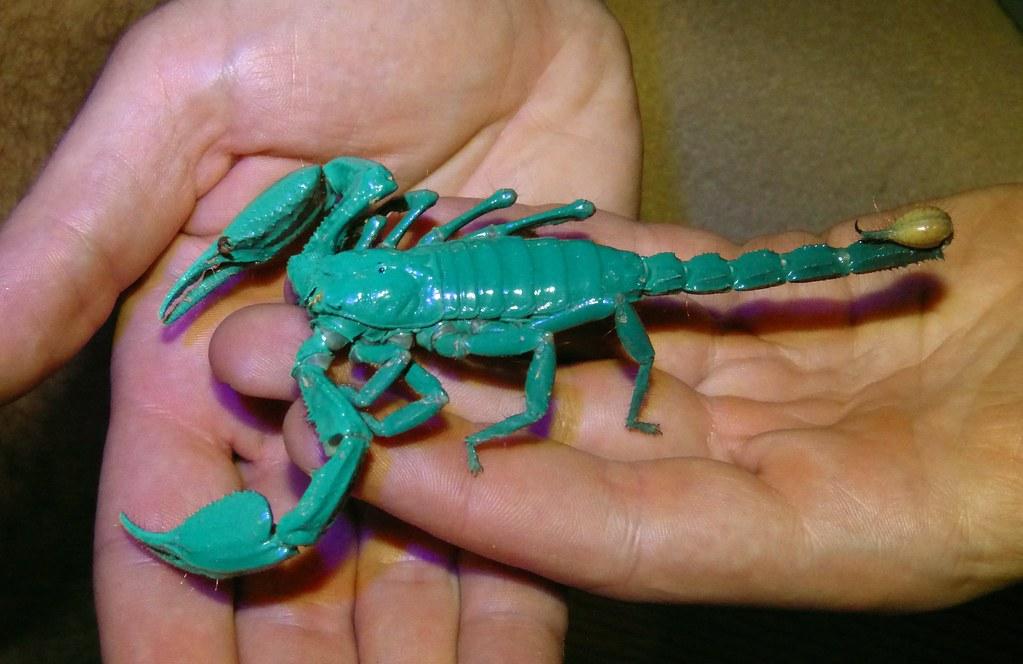 Asian Forest Scorpion Heterometrus spinifer UV Light
