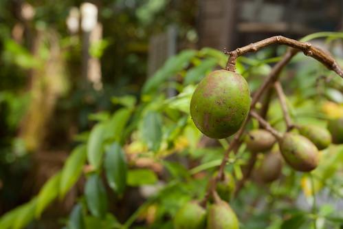 Corazon Fruit Puerto Rico