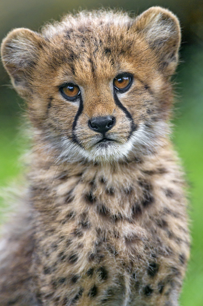 Cute Baby Cheetah Cubs Wallpaper Portrait Of An Adorable Cheetah Cub I Think This Is My