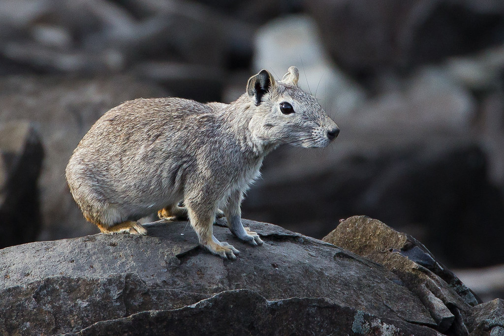 Rock Cavy Kerodon rupestris  Location Boldro Beach  Arc  Flickr