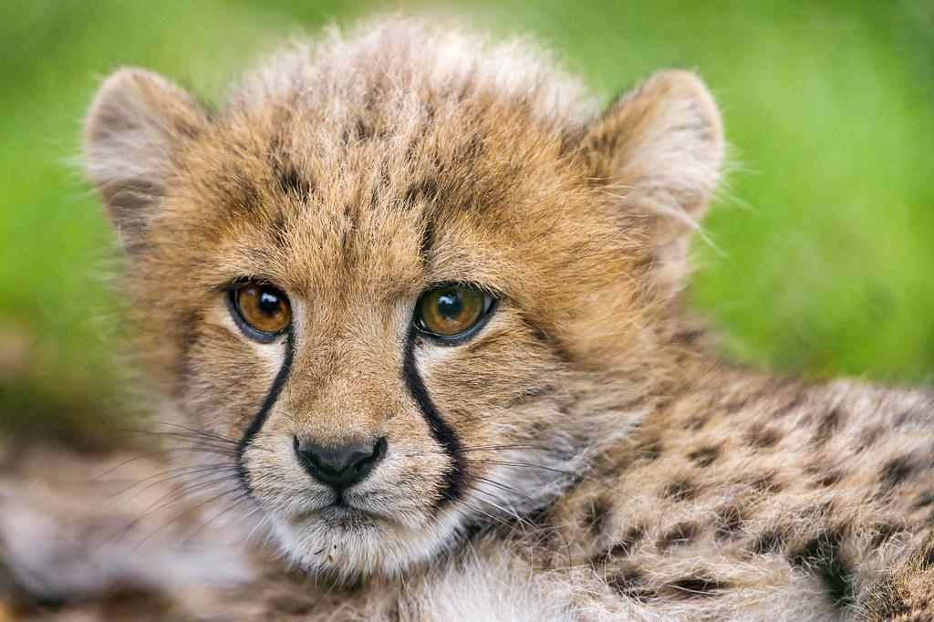 24 Wallpaper Hd Close Portrait Of A Lying Cheetah Cub Last Picture Of A