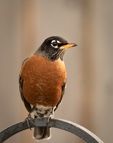 Handsome Robin Wow when we see one Robin this winter we
