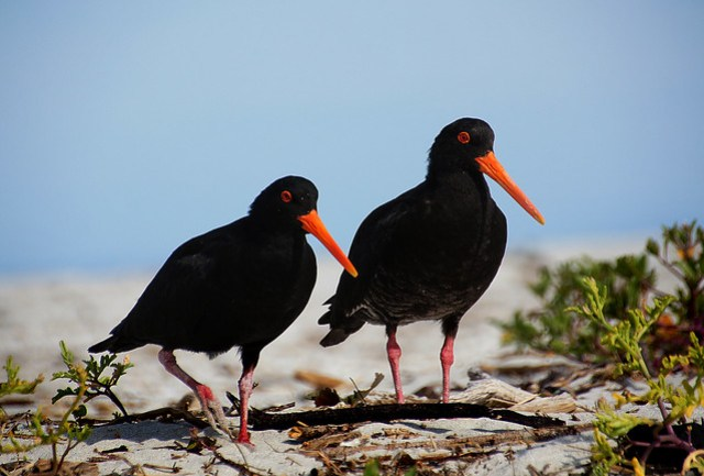 The Variable Oystercatcher