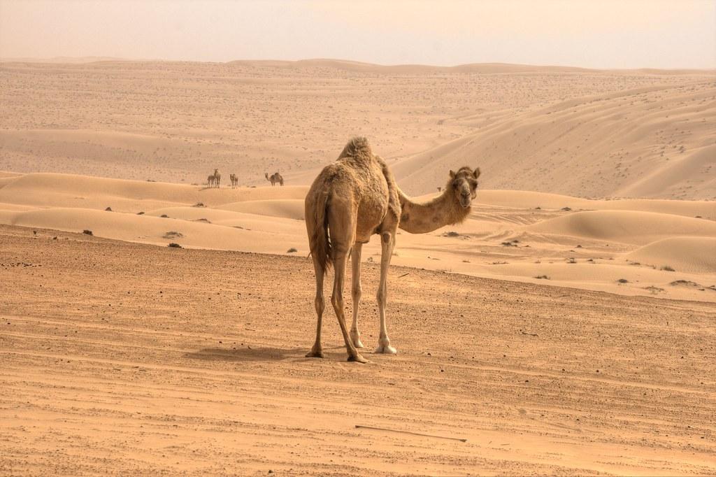 Camel's modesty