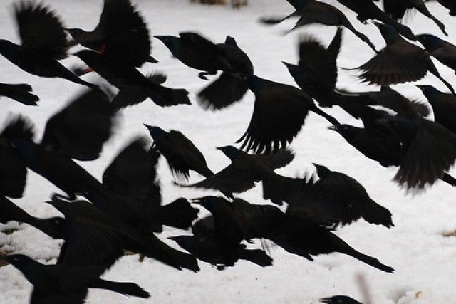 Grackles in black and white.