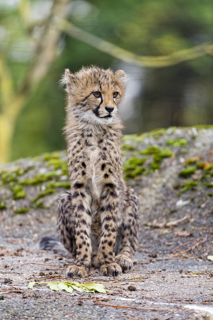 Sitting cheetah cub  Sitting and posing cheetah cub on