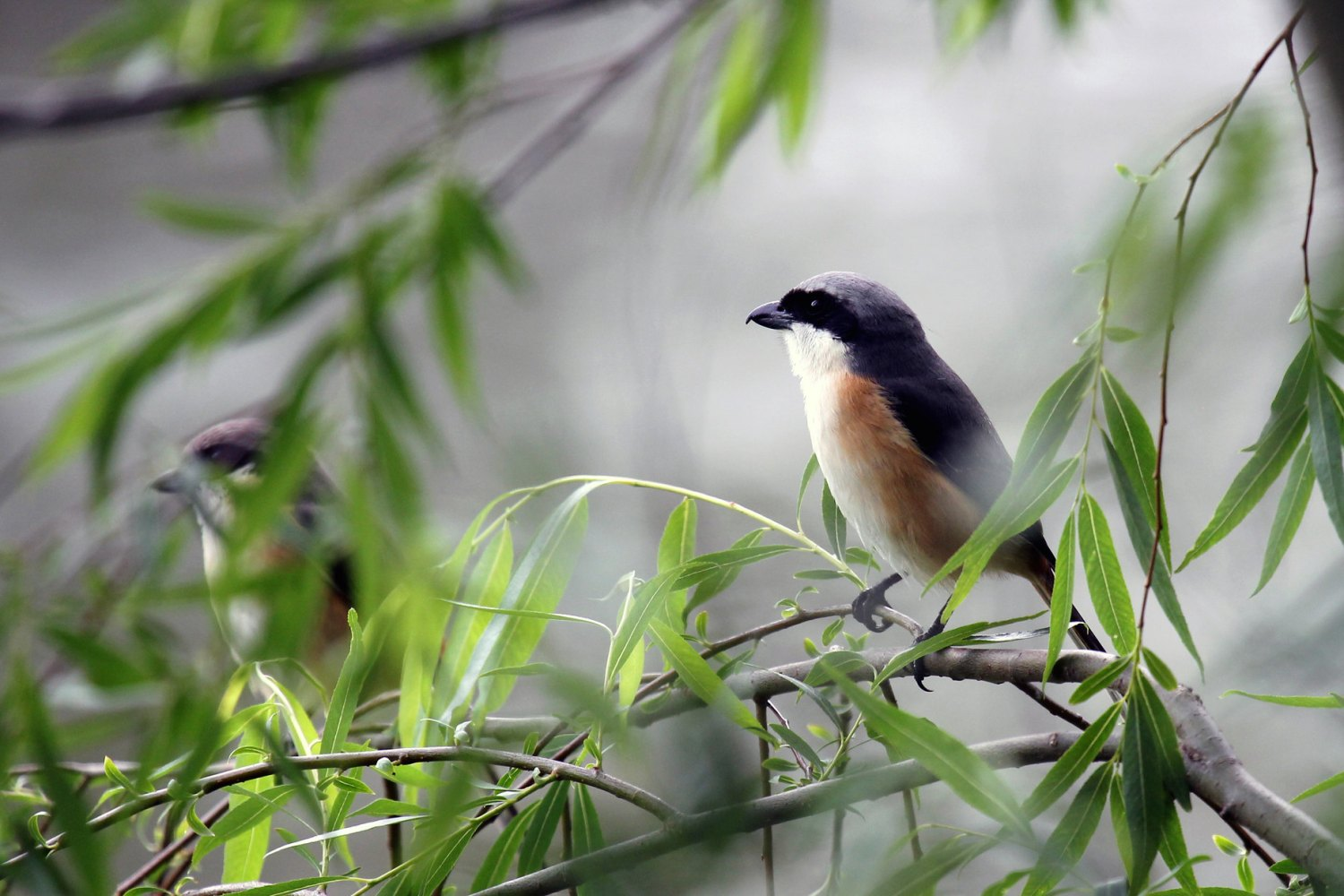 Birds of Lingkana