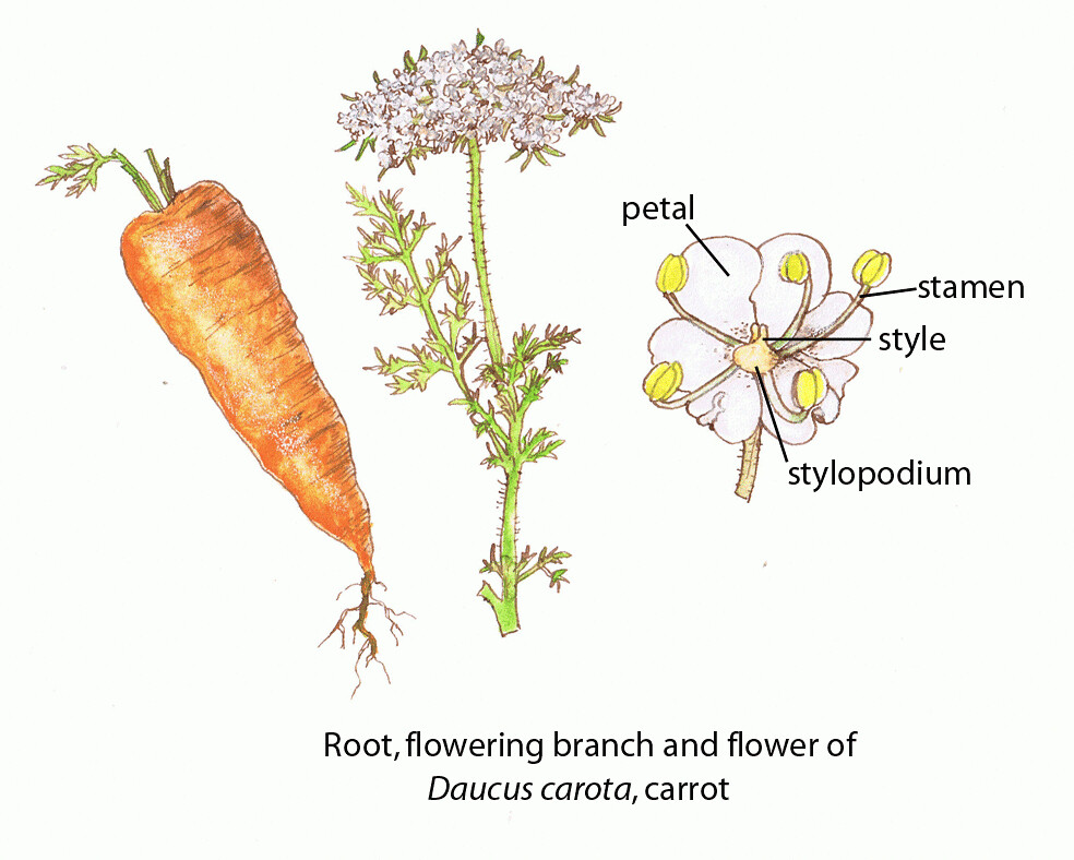 carrot plant diagram 94 mustang gt fuse c fao guida joseph floral diagrams of pollinator dep flickr by the un