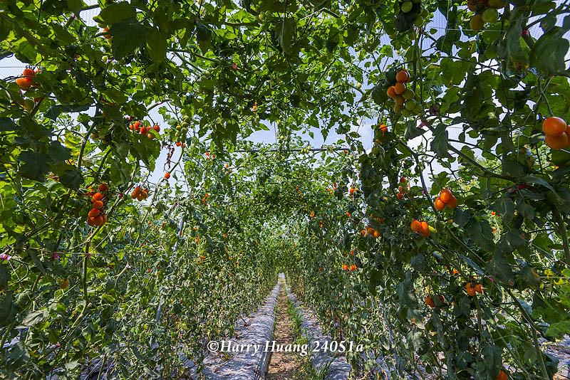 Harry_24051a,小蕃茄,蕃茄,西紅柿,蔬菜,水果,農業,農作物,農產,農園,棚架,豐收,收成,食物,高雄市… | Flickr