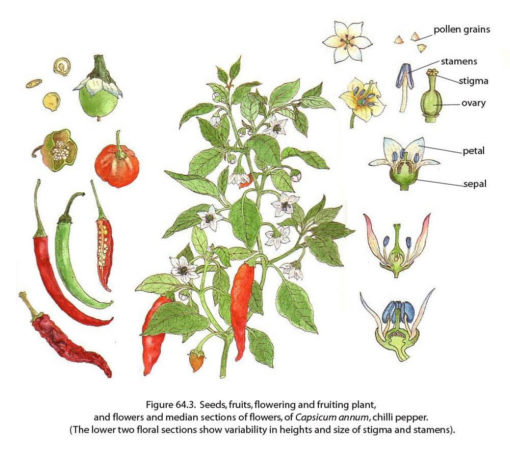 medium resolution of  chili pepper fao guida joseph by fao of the un