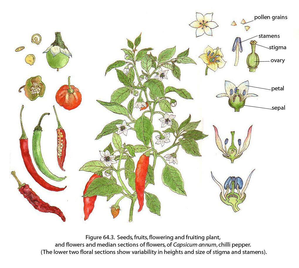 hight resolution of  chili pepper fao guida joseph by fao of the un