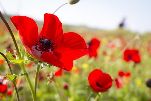 Red south  Anemone coronaria Israel national flower kibbu  Flickr