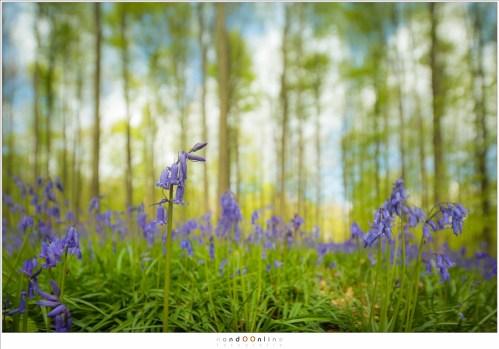 Boshyacinten in het beroemde Hallerbos. De bloem is het onderwerp en het bos vult de achtergrond zonder aandacht te trekken. De onscherpte is versterkt door gebruik te maken van een tiltshift objectief (17mm tilted- ISO200 -f/4 - t=1/320sec)