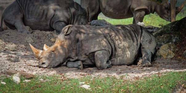 Rhino nap