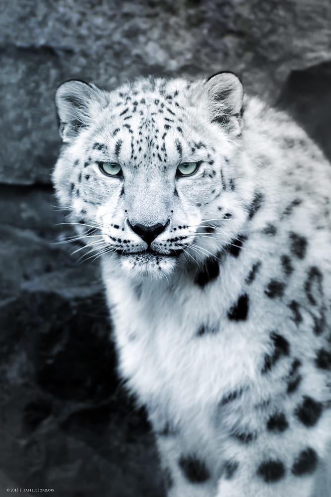 Schneeleopard Portrait  snow leopard portrait Panthera u  Flickr
